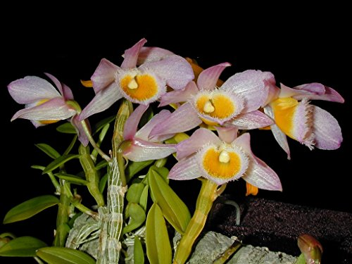 Dendrobium loddigesii - Orchid Plant - Fragrant - Easy-Grower - indigenous to China (Dendrobium Care Orchid)