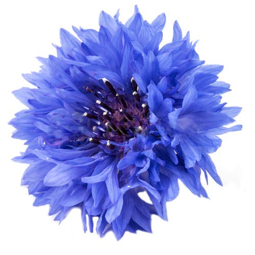 5000 Blue Bachelor Button Seeds - Large Package of one of America's Favorite Wildflowers - Blue Cornflower -