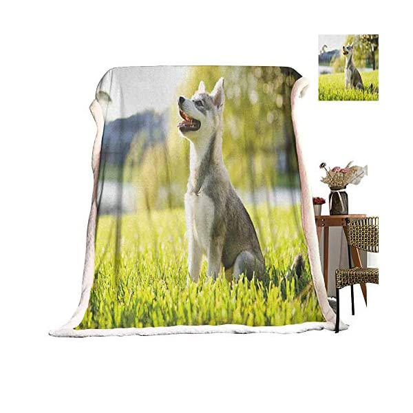 Cranekey Alaskan Malamute Sherpa King Blanket Klee Kai Puppy Sitting on Grass Looking Up Friendly Young Cute Animal for Bed or Couch Ultimate Sherpa Throw Multicolor W59xL47 inches 2