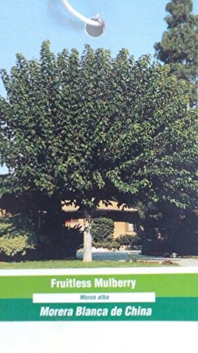 4'-5' Fruitless Mulberry Tree live Healthy Plants easy grow plant trees Berry