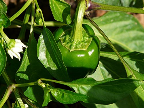 Buy pepper seeds for planting