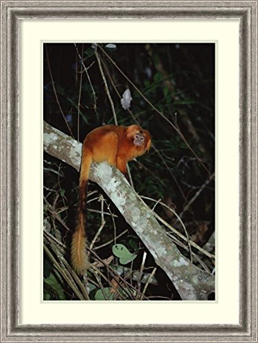 framed-art-print-golden-lion-tamarin-poco-das-antas-reserve-atlantic-forest-brazil-by-tui-de-roy