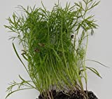Microgreens Fennel Fino bulb leaf avg 30+ seeds seeds x 100 seeds packets by Raunak Seeds