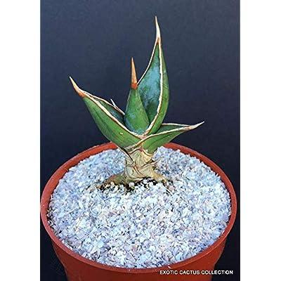 """Toyensnow - SANSEVIERIA Pinguicula Rare Walking Snake Succulent Cactus Cacti Plant (4"""" Pot) : Garden & Outdoor"""