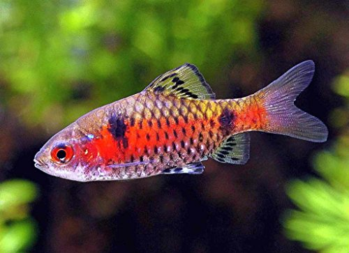 Odessa Barb 1.5 Inches - Freshwater Live Tropical - Odessa Stores