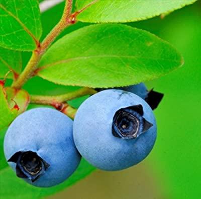 Lowbush Blueberry, Vaccinium angustifolium, Seeds (Edible, Showy, Fall Color)