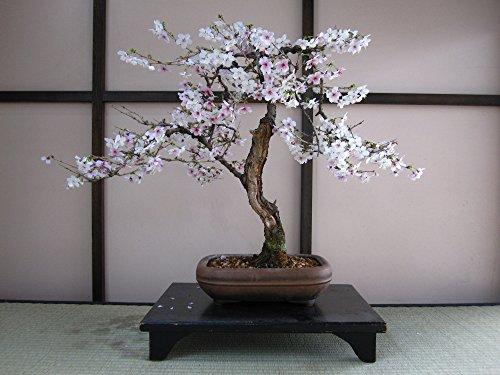 SAFLAX - Bonsai - Japanische Blütenkirsche (Prunus serulata) - 30 Samen - Freilandbonsai