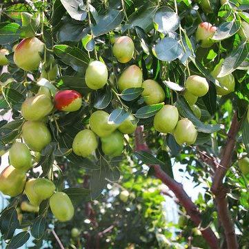 Bshopy 10pcs Semillas de azufaifo azufaifo Real de Semillas de Frutas ex/óticas Bonsai Deliciosa Hermosa f/ácil Crecer Planta perenne org/ánica Natural para la Salud