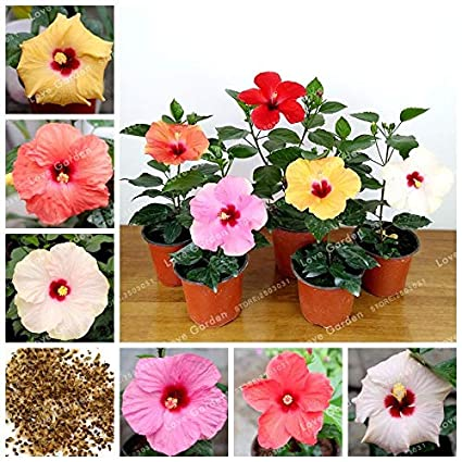 Amazoncom Wanchen 100 Pcsbag Hibiscus Flower Plant Hibiscus