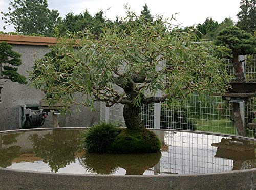Bonsai Dragon Willow Tree - Large Thick Trunk - One Live Indoor Tree - Corscrew Willow Bonsai - Fast Growing Unique Bonsai Tree