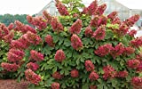 Ruby Slippers OAKLEAF Hydrangea Shrub