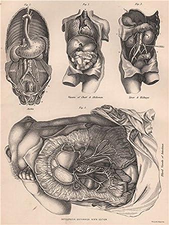 Amazon.de: Echthaar Anatomie Innereien, Bauch Aorta Leber Nieren ...