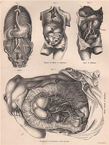 Anatomía del vaso sanguíneo del hígado