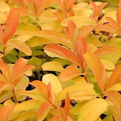 "AchmadAnam - Live Plant - 10 Hypericum calycinum"" Brigadoon ' - Perennial - St. John's Wort : Garden & Outdoor"