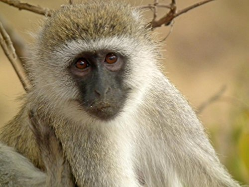 Quality Prints - Laminated 32x24 Poster Black Faced Vervet Monkey Chlorocebus pygerythrus in Tanzania 0739 Nevit ()