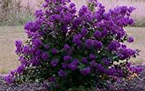 PURPLE VELVET Miniature Crape Myrtle, Pack of 5, Darkest Purple Flower Available, Matures 4'-5' (1'-1.5' When Shipped, Well Rooted with Pots in Soil)