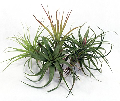 5-live-airplants-tillandsia-bareroot-terrarium-fairy-garden-houseplant