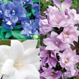 40+ Platycodon Double Balloon Flower Perennial Flower Seeds Mix (Blue, Pink & White)