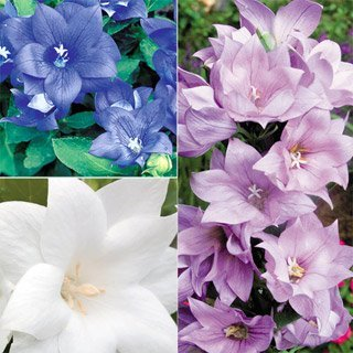 40+ Platycodon Double Balloon Flower Perennial Flower Seeds Mix (Blue, Pink & White) (Perennials Blue Flowers)