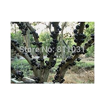 Free shipping, rare Persian fruits: tree grape seed: large potted plants, 50 grains of grape seeds