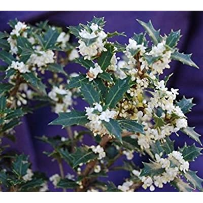 Fragrant Princess Dwarf Tea Olive ( 'Kaori Hime' osmanthus ) - Live Plant - Quart Pot: Garden & Outdoor