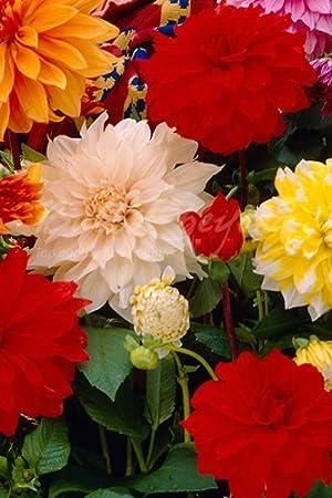 Dahlia \u0026quot;Dinner Plate XXL Mix\u0026quot; - 20 Summer Flowering Bulbs / Dinner Plate & Dahlia \