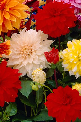 dinner plate dahlias for sale uk. dahlia \u0026quot;dinner plate xxl mix\u0026quot; - 20 summer flowering bulbs / dinner dahlias for sale uk