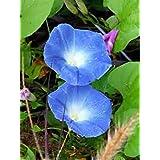 Morning Glory, Heavenly Blue, 500 Seeds, Organic, Beautiful Season Long Blooms