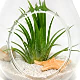 Air Plant Terrariums - Set of 3 Air Plant Teardrop Terrariums - 3 Complete Kits with glass terrariums, air plants, sand, starfish and seashells - Free Air Plant Care Ebook with every order