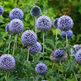 Qenci Seeds - 50Pcs Echinops Seeds Blue Globe Thistle Veitchs Flower Seeds Perennial Flowers for Home Terrace Garden