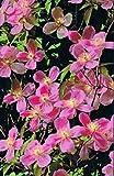 Duft-Clematis - Waldrebe - montana - Tetra Rose - sehr frosthart - frühjahresblühend - 40-60 cm