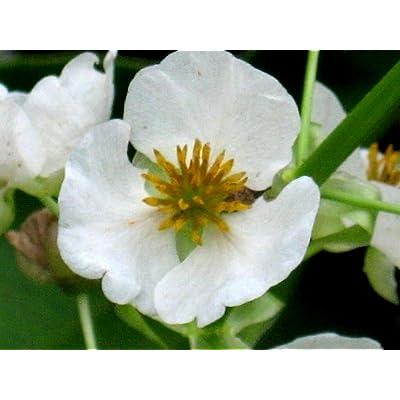 1000 Sagittaria Latifolia White Broadleaf Arrowhead Pond Wetland Flower Seeds #RR01 : Garden & Outdoor