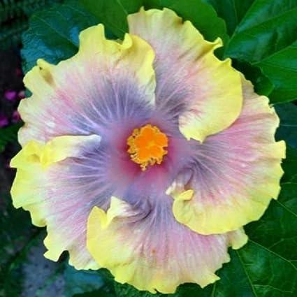 Amazoncom 10 Rare Yellow Purple Hibiscus Seeds Giant Dinner Plate
