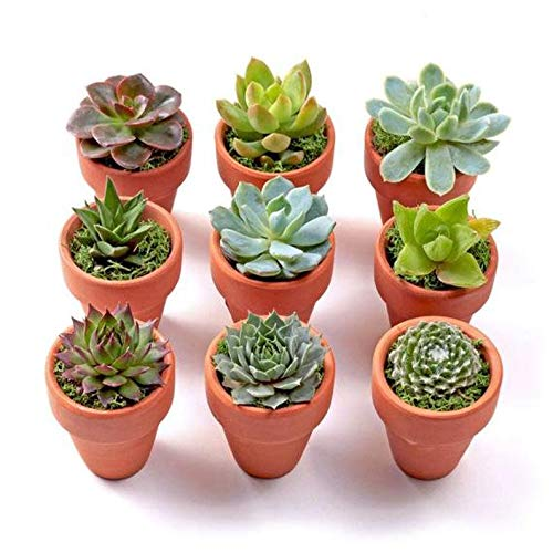 20 Plants of Mini Succulent Planted Pots by Coral LLC (Image #2)