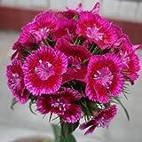 50 Seeds Dianthus Linn Clarkia Pink Perennials Flower Plant
