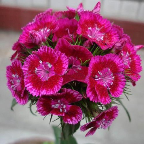 Dianthus Barbatus Sweet (50 Seeds Dianthus Linn Clarkia Pink Perennials Flower Plant)