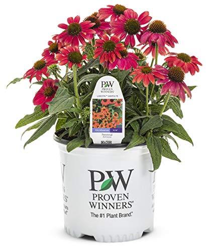 Proven Winners - Echinacea LAKOTA 'Santa Fe' (Coneflower) Perennial, pink-orange flowers, 1 - Size Container