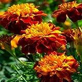 Outsidepride Marigold Flame - 500 Seeds