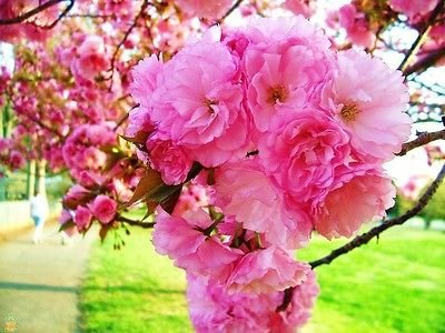 Kwanzan Cherry Tree - Flowering Kanzan Sekiyama Rooted - 3 Plants in 2.5