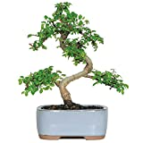 "Brussel's Live Chinese Elm Outdoor Bonsai Tree - 5 Years Old; 6"" to 8"" Tall with Decorative Container"