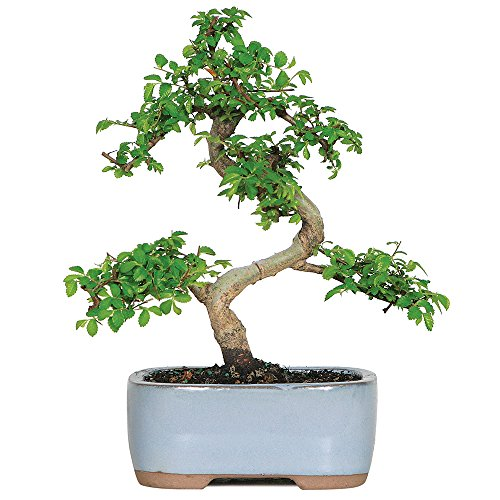 Brussel's Live Chinese Elm Outdoor Bonsai Tree - 5 Years Old; 6