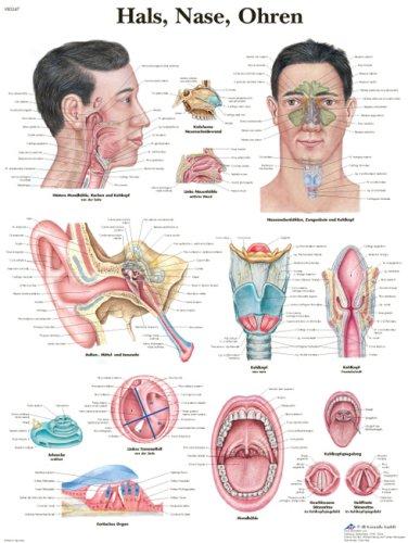 Anatomische Lehrtafel: Hals, Nase, Ohren: Amazon.de: Bücher