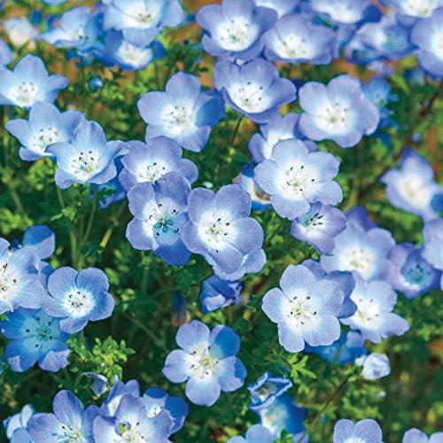 Baby Blue Eyes Wildflower Flowers Blue Baby\u0027s Breath, 1500+ Premium Seeds,  Beautiful \u0026 Gorgeous! Nemophila menziesii, (Isla\u0027s Garden Seeds), Highest