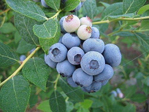 Amazon.com : Legacy Blueberry Bush - Edible Berry - Hardy ...