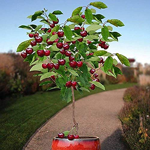 - 50 Seeds Dwarf Cherry Tree Self-Fertile Fruit Tree Indoor/Outdoor