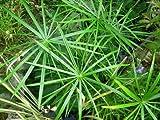 "9EzTropical - Dwarf Umbrella Palm - 1 Feet Tall - 3 Plants in ONE 3"" Pot"