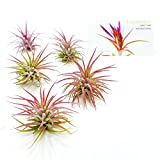The Drunken Gnome AIR Plants – IONANTHA Fuego – 5 Pack - air Purifying Flowering Tillandsia for Terrarium, Fairy Garden Starter kit, Home Office, Indoor Outdoor, Corporate Gift (5 Fuego)