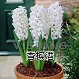 Hyacinthus Orientalis seeds, cheap Hyacinth seeds, Hyacinth potted seed, Bonsai balcony flower - 100 pcs/bag Seeds