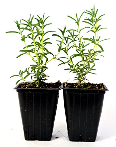 (9GreenBox - Tuscan Blue Rosemary - 2 Pack)