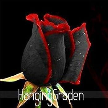 Amazoncom True Blood Black Rose 100pcs Rare Rose Seeds Flowers